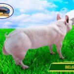 Cría de cerdos Porcimark
